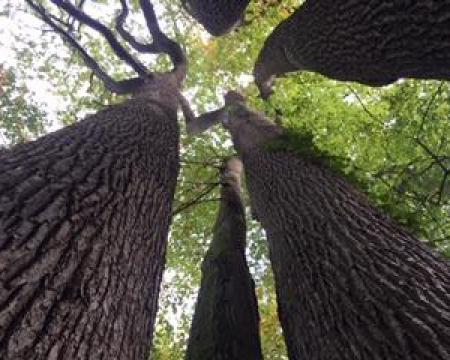 Remise de label à un chêne sessile au château de Rosa Bonheur