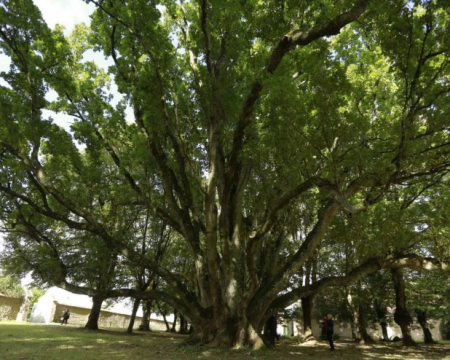 Les deux chênes fastigiés de Villecien