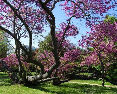 Les arbres de Judée à La Rochelle
