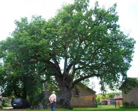 Le chêne de Marnay