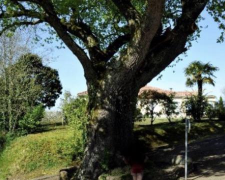 Le chêne de Horsarrieu