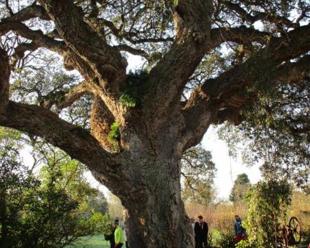Le chêne liège à St Georges d'Oléron