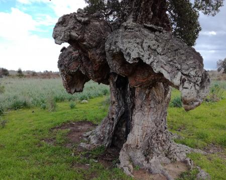Le chêne liège de Ghisonaccia