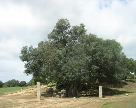 L'olivier millénaire de Filitosa
