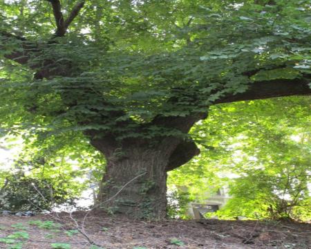 L'orme champêtre de La Rochelle