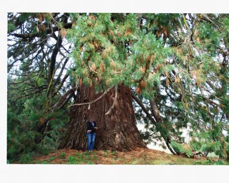 Le séquoia géant de Roiffé
